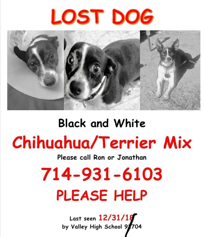 lost dog chihuahua