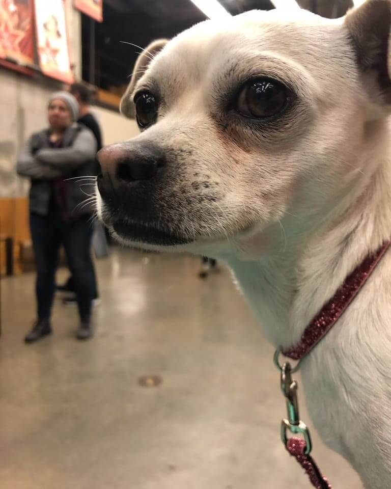 lovely chihuahua