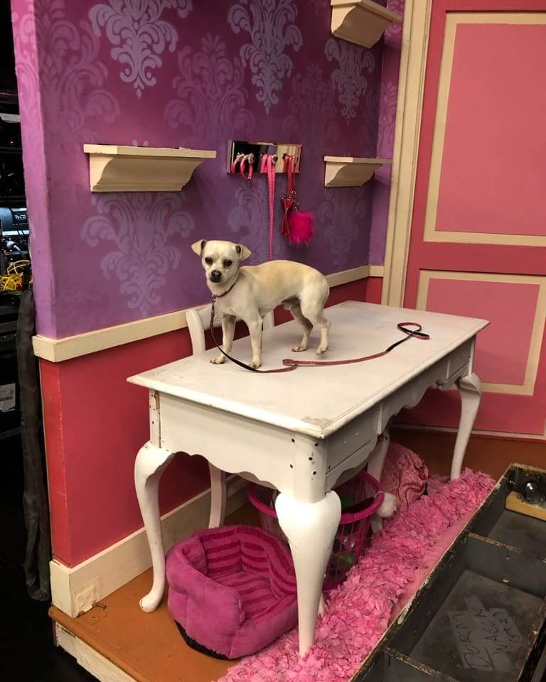 lovely chihuahua for adoption
