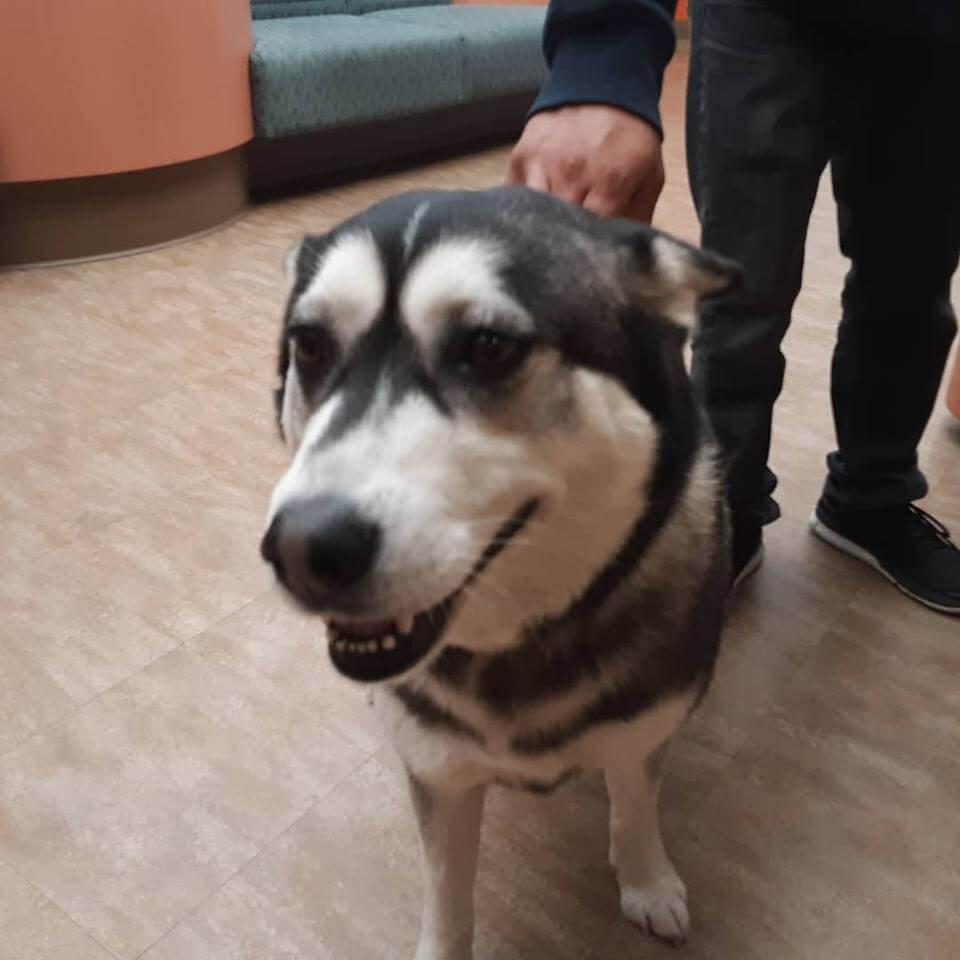 lost pet husky WAGS