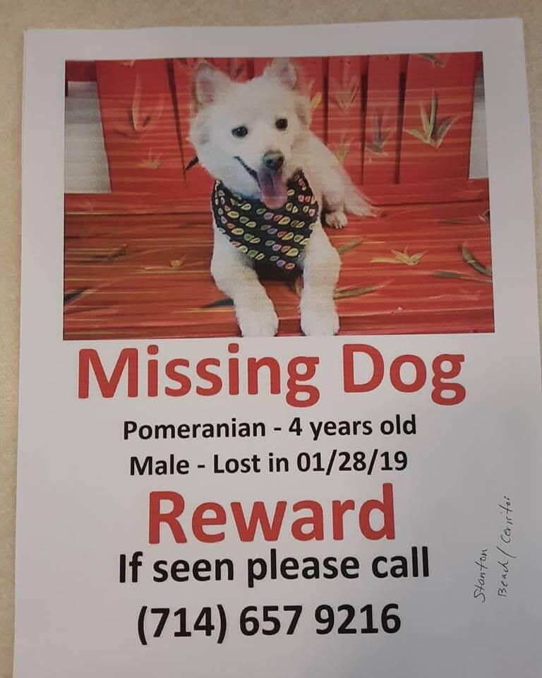 courtesy missing dog pomeranian male