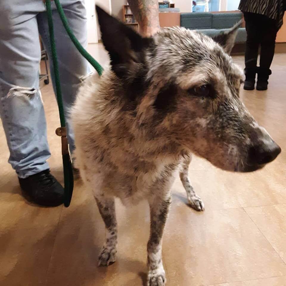 aussie mix dog found WAGS