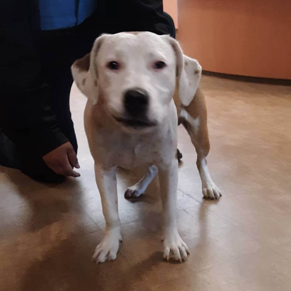 4-5 month old pit puppy found WAGS