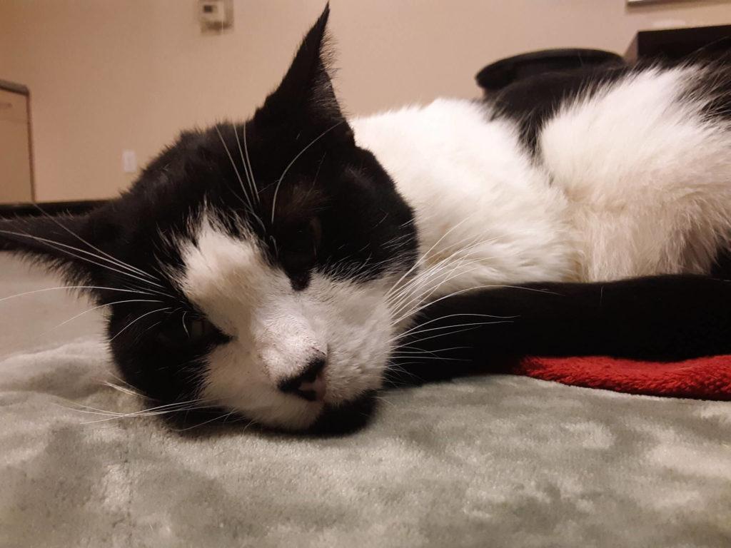 sleeping senior cat pet for adoption