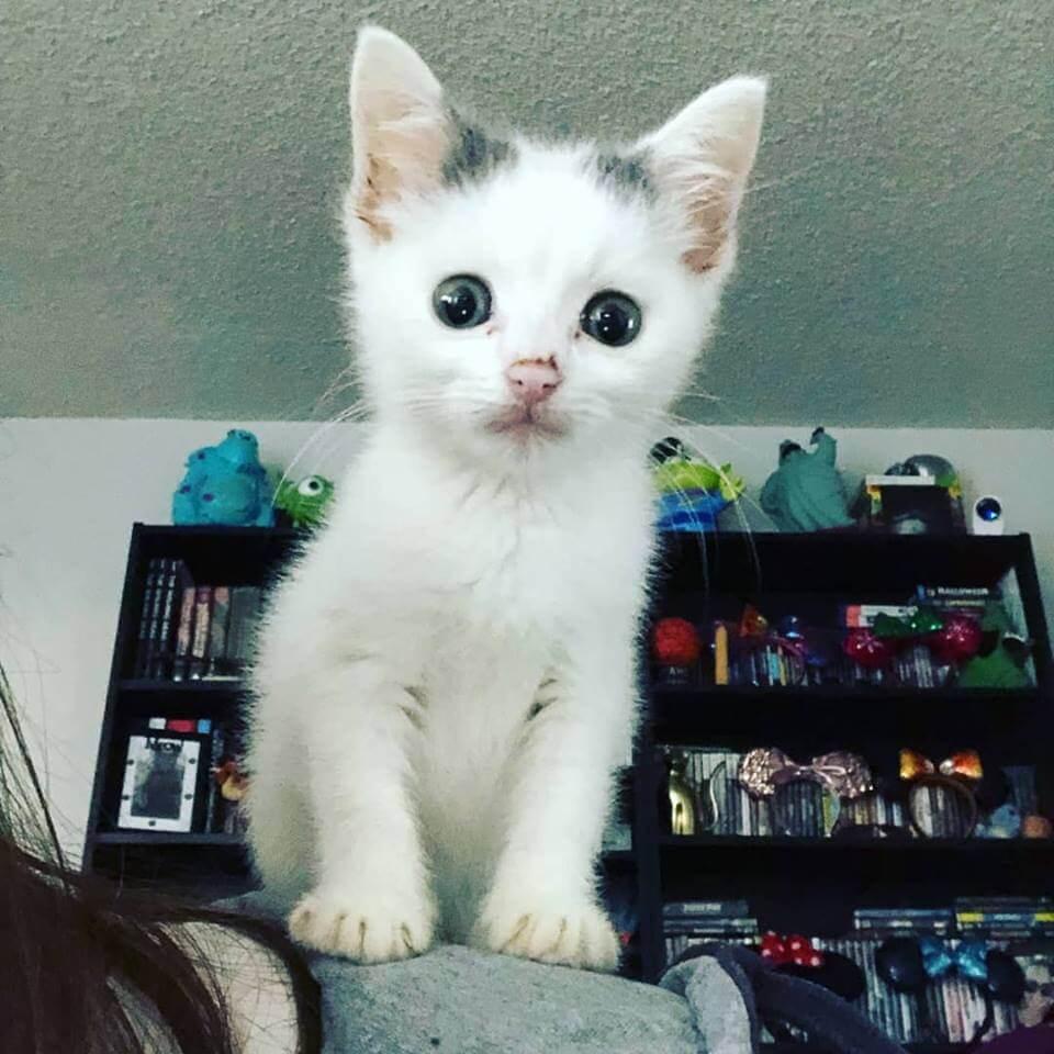 cute little white kitten WAGS
