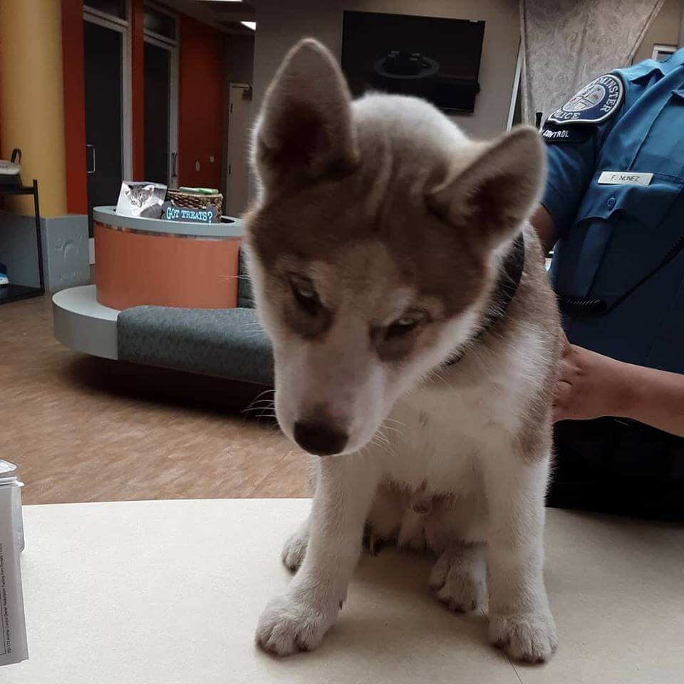 male siberian husky was found by WAGS