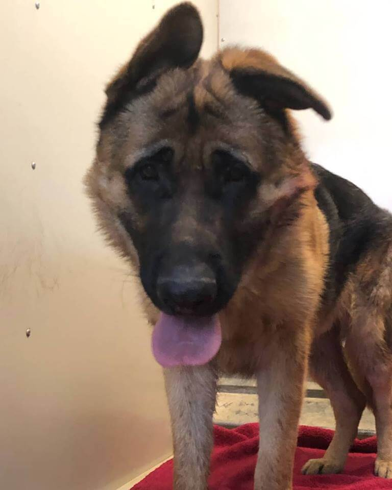 WAGS found Xtra large Male German Shepherd