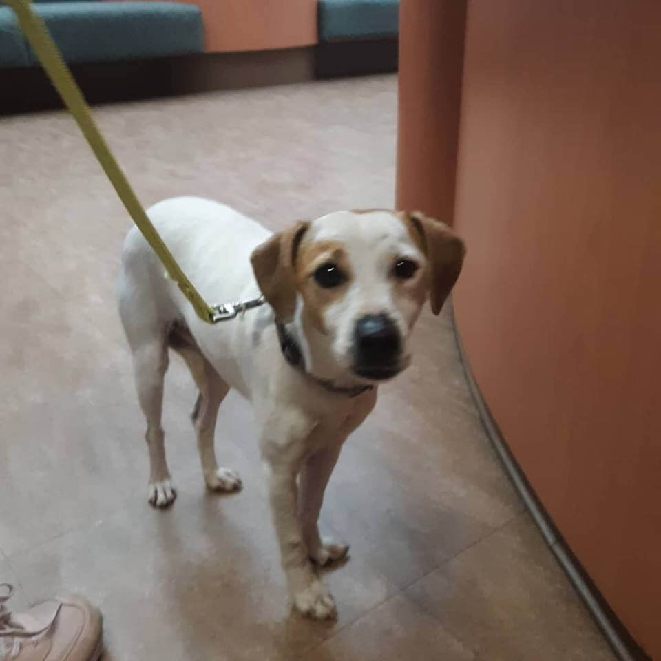 Female jack Russell terrier found on Dale and Ball WAGS