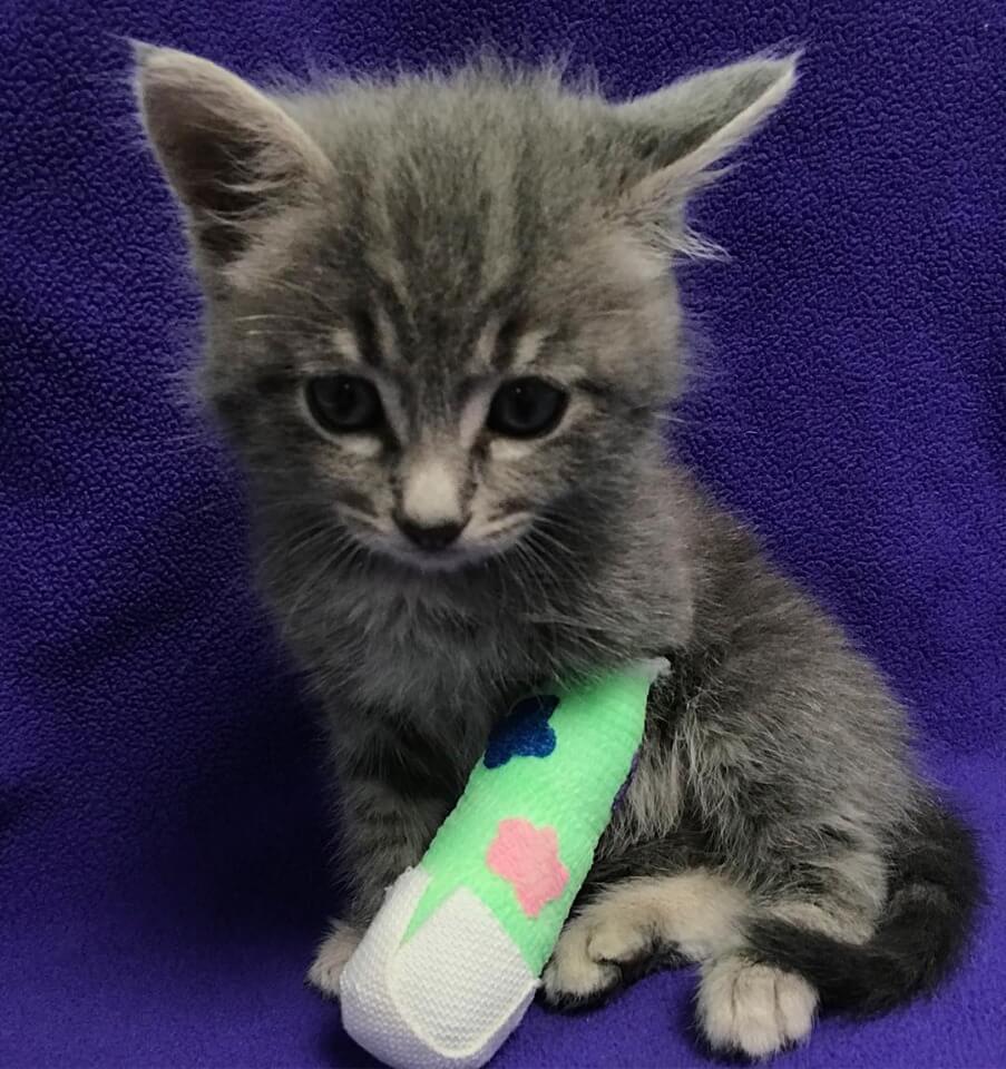 WAGS kitten Dinglehopper for adoption
