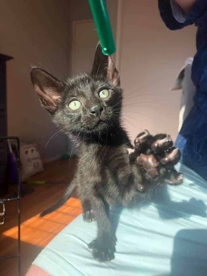 Ash Kitten Adoption WAGS
