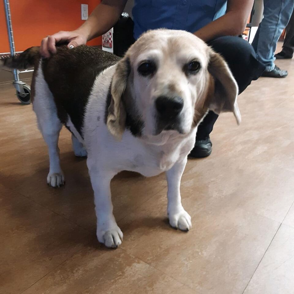 Female Beagle found A-1076 WAGS