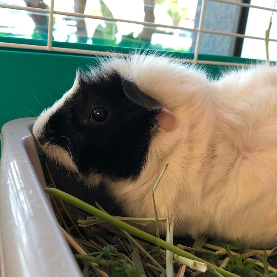 petunia abyssinian guinea pig WAGS