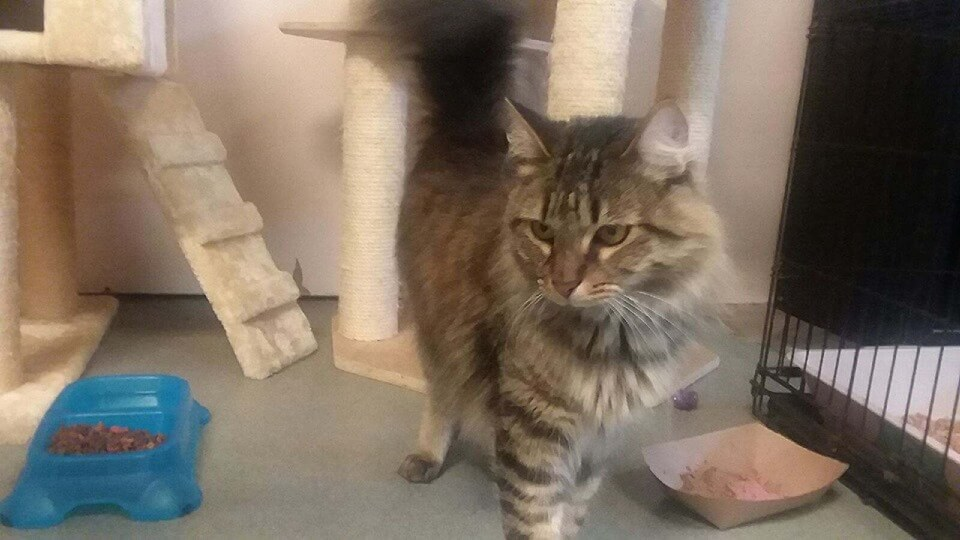 Nolan is a BEAUTIFUL Maine Coon WAGS