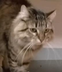 Lap cat Nolan Season WAGS