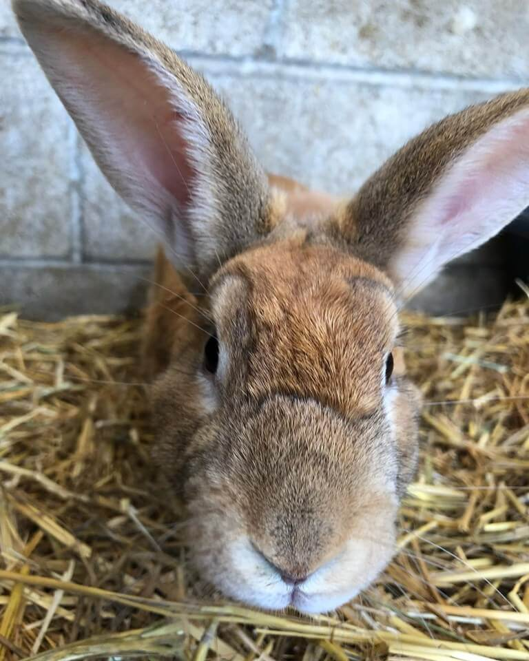 Parsnip rabbit needs forever home WAGS