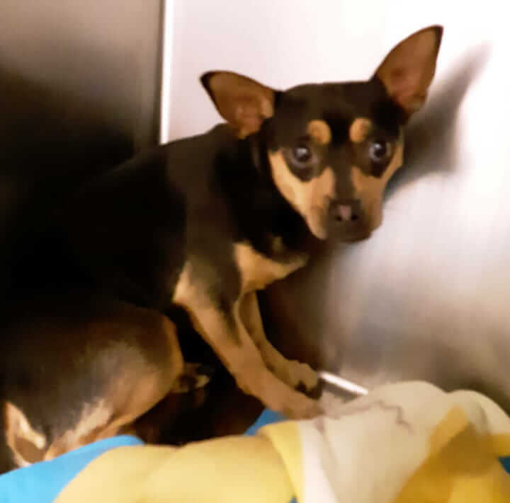 Little dog found #A-1442 WAGS