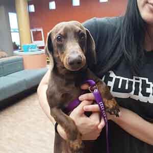 Dachshund dog adoption #A-1736 WAGS
