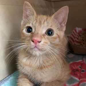Tugg Male Cat Adoption WAGS