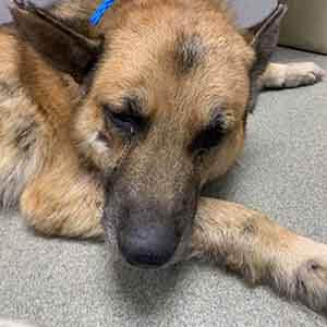 Male Dog Found #A-1814 adoption WAGS
