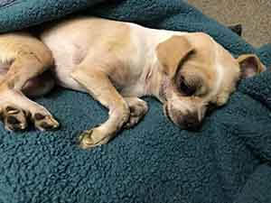 Lost and injured chihuahua dog adoption WAGS