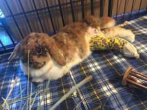 WAGS help broken rabbit leg