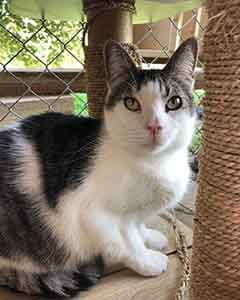 Seal Male Cat Adoption WAGS