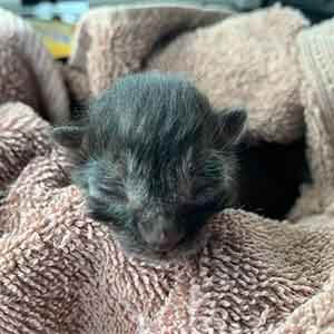 single one day old kitten in need of a foster home ASAP WAGS