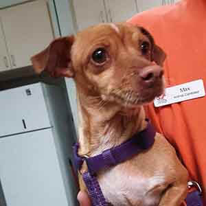 Female chihuahua found #A-1987 pet adoption WAGS