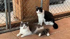 Dart & Cobalt cat pet adoption WAGS