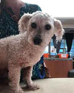 New male poodle found #A-2126 pet adoption WAGS