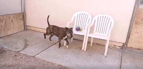 BamBam pitbull Adoption WAGS