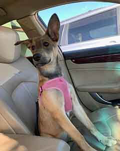 Female German Shepherd / Lab mix lostpets WAGS