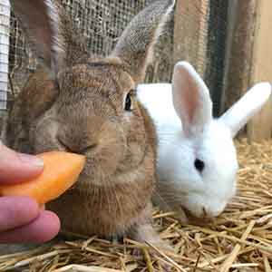 Parsnip rabbit adoption WAGS