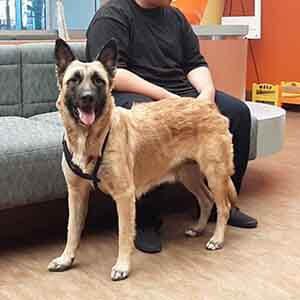 Female Shepherd Dog found #A-2402 pet adoption WAGS
