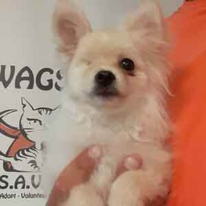 One Eyed Willie Pomeranian puppy that he lost an eye WAGS