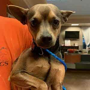 Female black and tan chihuahua was found #A-2613 & #A-2614 pet adoption WAGS