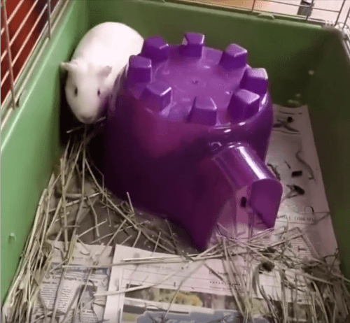 Bonded pair Albino guinea pig Allister and Crowley WAGS