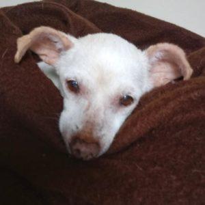 Possum senior dog for adoption WAGS