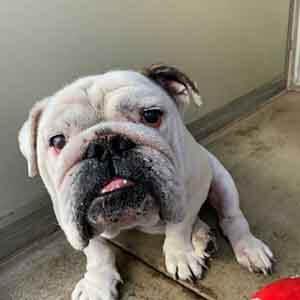 Meet Bubba, 7yr old English Bulldog, sweet and very friendly WAGS