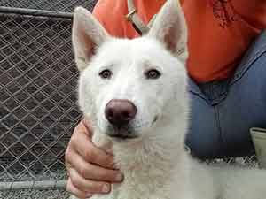 Lilo is back with us. She is a Shiba mix, pet adoption WAGS