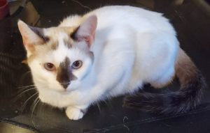 white cat for adoption wAGS