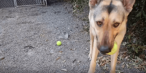 Hanna will play fetch ALL day WAGS