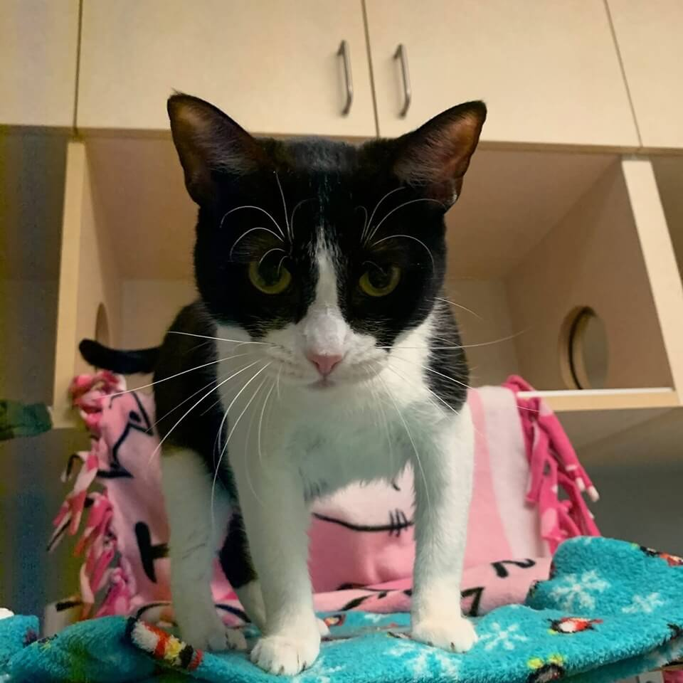 wags cat betsey for adoption
