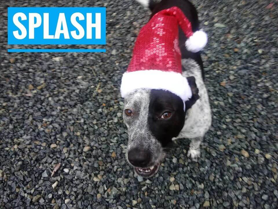 westminster WAGS splash dog with santa holiday hat