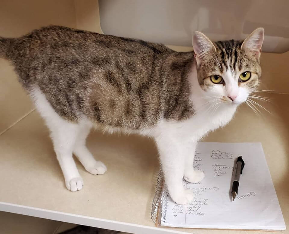 tabby cat at pen and paper