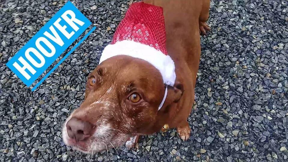 brown eyes brown dog hoover wearing santa hat