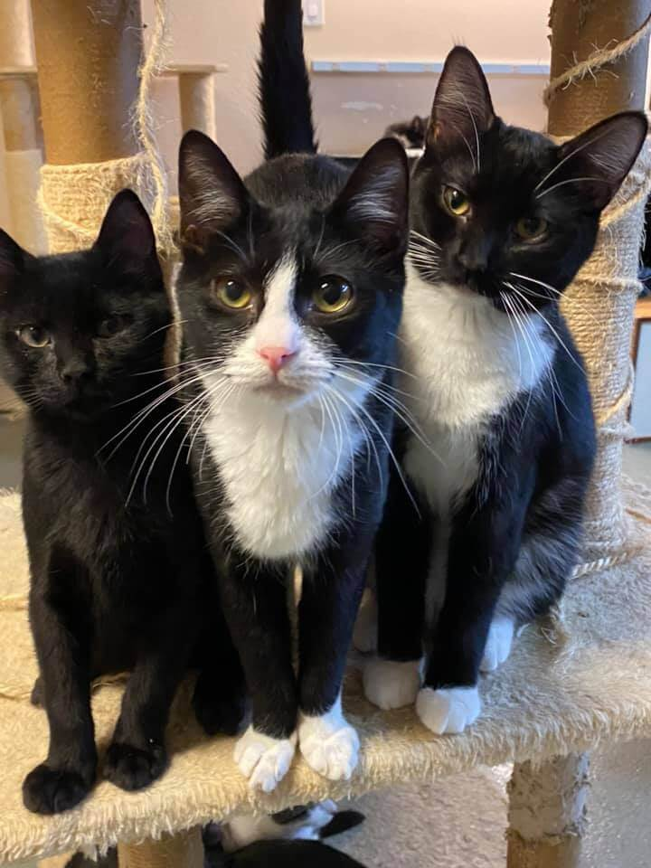 one black and two white necked black cat