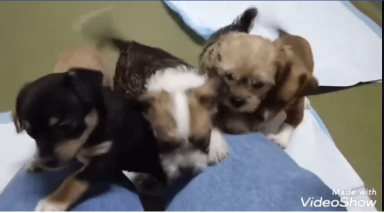 four puppies wants to play