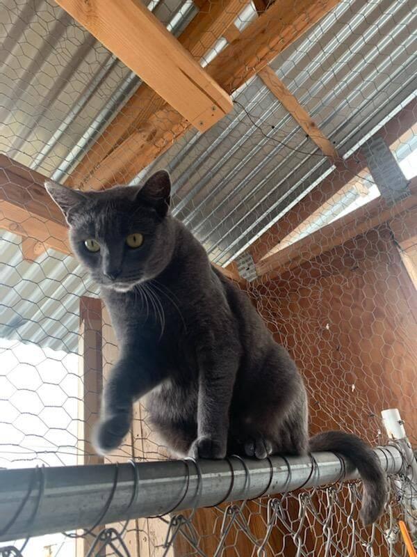 british shorthair cat on rails
