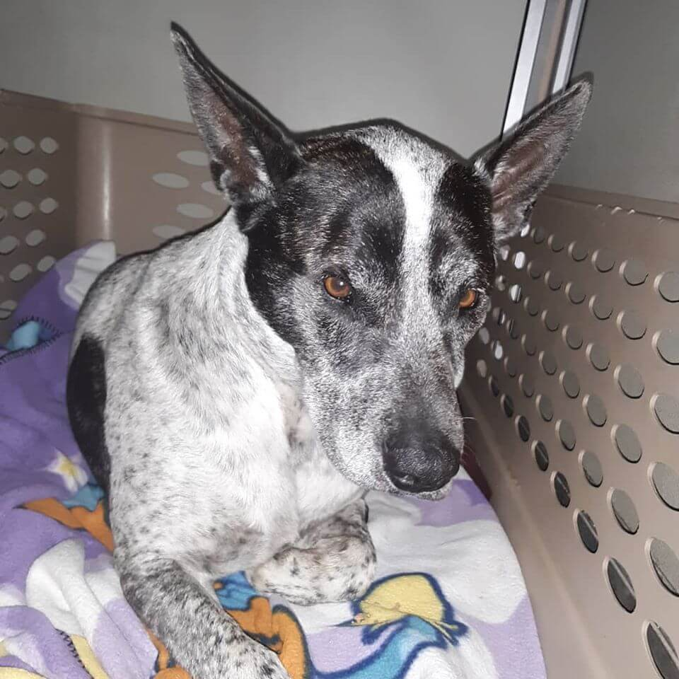 bicolor black and white dog found WAGS